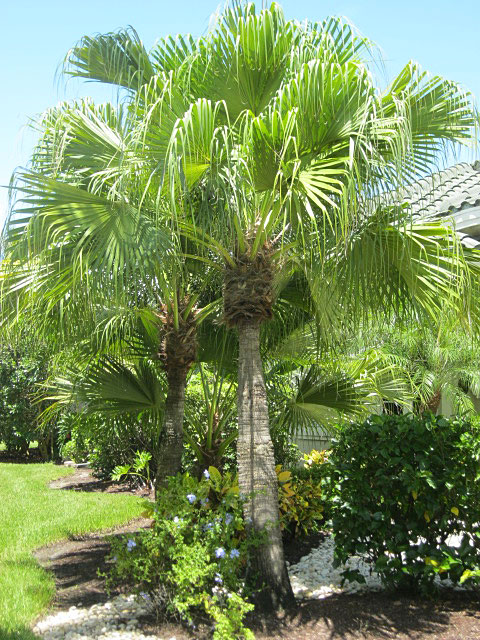 how to plant a foxtail palm tree